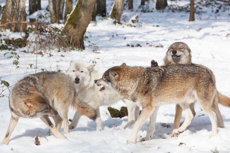 Körpersprache bei Wölfen
