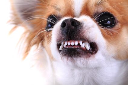 Hund knurrt oder schnappt